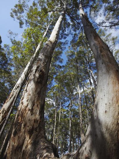 Karri Trees in Gloucester National Park, Pemberton, Western Australia, Australia, Pacific-Ian Trower-Photographic Print