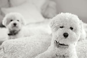 Bichons Black and White by Karyn Millet