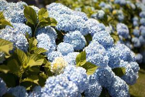 Blue Hydrangea by Karyn Millet