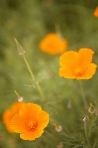 California Poppies II by Karyn Millet