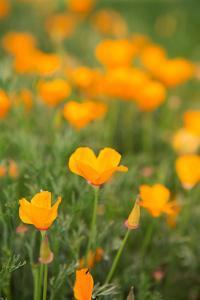 California Poppies by Karyn Millet