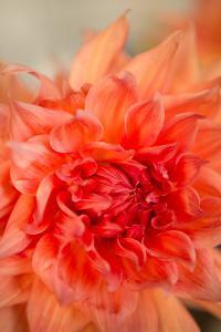 Coral Dahlia by Karyn Millet