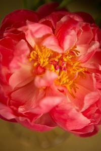 Coral Peony by Karyn Millet