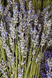 Cut Lavender I by Karyn Millet