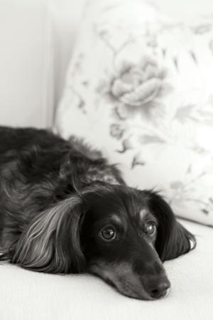 Dachshund Black and White by Karyn Millet
