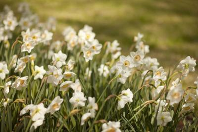 Daffodils by Karyn Millet