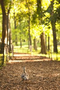 Duck Walk by Karyn Millet