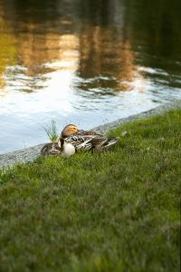 Ducks on the Pond by Karyn Millet
