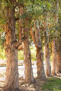 Eucalyptus Trees by Karyn Millet