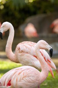 Flamingos II by Karyn Millet