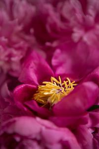 Fuchsia Peonies I by Karyn Millet