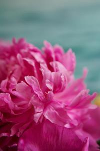 Fuchsia Peonies III by Karyn Millet