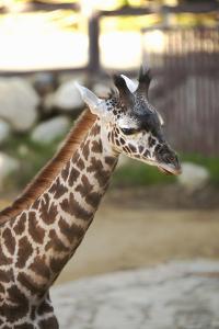 Giraffe I by Karyn Millet