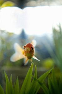 Goldfish I by Karyn Millet