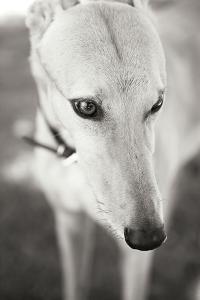 Greyhound Black and White by Karyn Millet