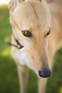 Greyhound by Karyn Millet