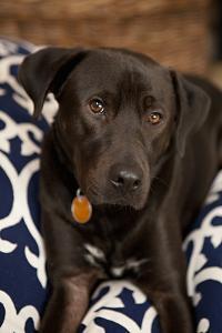 Labrador by Karyn Millet