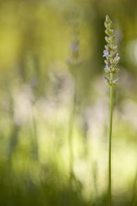 Lavender I by Karyn Millet