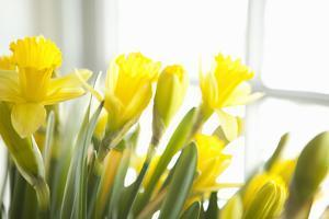 Leaning Daffodils by Karyn Millet