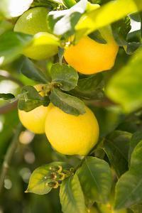 Lemon Grove II by Karyn Millet