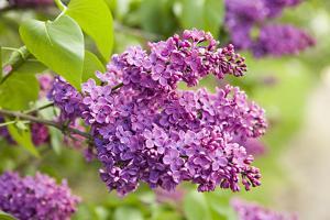 Lilac by Karyn Millet