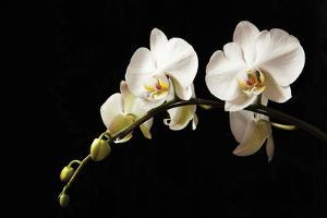 Orchid on Black by Karyn Millet