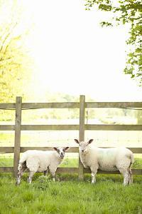 Pasture Sheep I by Karyn Millet