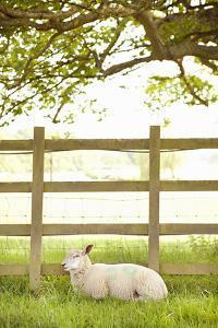 Pasture Sheep II by Karyn Millet