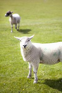 Pasture Sheep IV by Karyn Millet