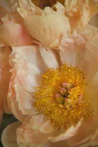 Peach Peonies I by Karyn Millet