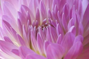Pink Dahlia by Karyn Millet