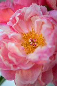Pink Peony by Karyn Millet