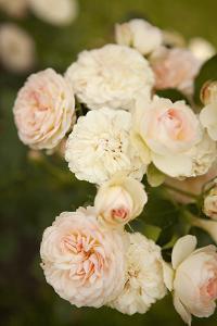 Rose Bush III by Karyn Millet