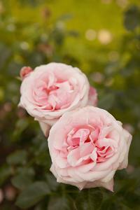 Rose Bush IV by Karyn Millet