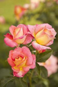 Rose Garden II by Karyn Millet