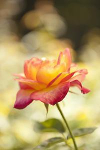 Serene Rose I by Karyn Millet