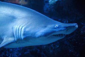Shark by Karyn Millet
