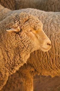 Sheep by Karyn Millet