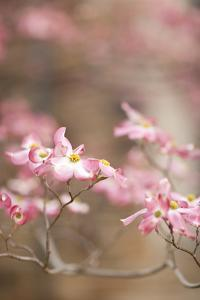 Spring Blossoms III by Karyn Millet