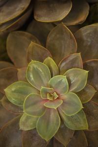 Succulent I by Karyn Millet