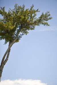 Tall Tree by Karyn Millet