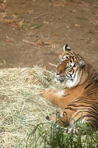 Tiger I by Karyn Millet