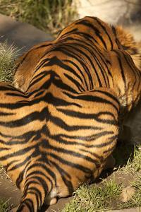 Tiger II by Karyn Millet