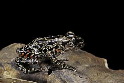 https://imgc.artprintimages.com/img/print/kassina-maculata-red-legged-running-frog_u-l-pzqt9f0.jpg?artPerspective=n