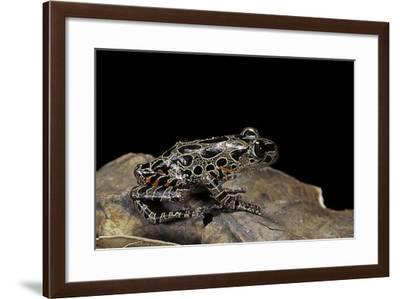 Kassina Maculata (Red-Legged Running Frog)-Paul Starosta-Framed Photographic Print