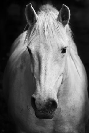 White Horse'S Black And White Art Portrait by kasto