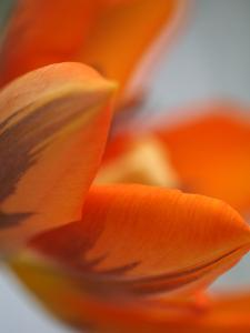 Opened Orange Tulip by Katano Nicole