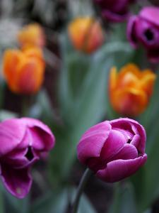 Purple and Orange Tulips by Katano Nicole