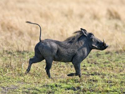 Katavi National Park, A Warthog Runs with its Tail in the Air, Tanzania-Nigel Pavitt-Photographic Print