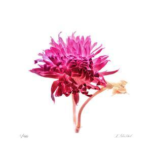 Bright Dahlia by Kate Blacklock